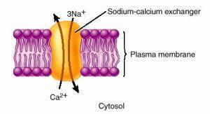 Sodium-Calcium pump (transporter)