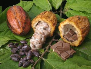 Cacoa fruit with nuts from Theobroma_cacao tree